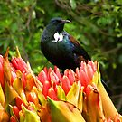 NEW ZEALAND TUI BIRD by zimmie22