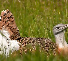 Great Bustard by Val Saxby
