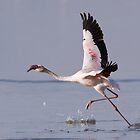 Flamingo Take Off by Sue Earnshaw