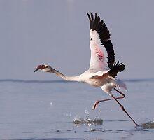 Flamingo Take Off by Sue Earnshaw