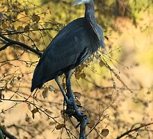 Great Blue Heron in Autumn by THurdCreations
