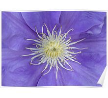 Clematis blue Poster