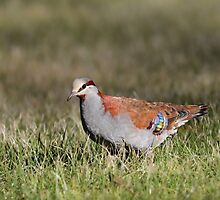 Brush Bronzewing by Jeremy Weiss