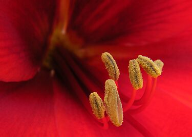 Inside Amaryllis by newfan