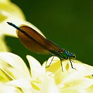 Beautiful Demoiselle by Russell Couch