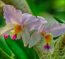 Orchid by Peter D