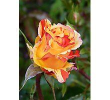 Rose Bud .. Oranges and Lemons Photographic Print