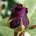 Rose Bud ... Dark Red by LoneAngel