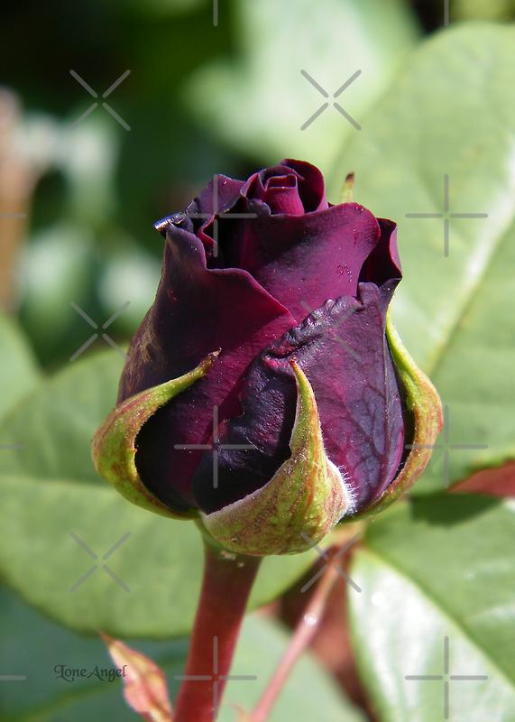 Rose Bud ... Dark Red by LoneAngel