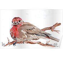 Common Red-poll {Corduelis flammea} Poster