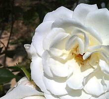 White rose (iPhone) by iLaw
