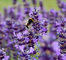 BUSY AS A BEE.3 by ronsaunders47