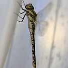 Dragonfly looking for freedom by AnnieSnel
