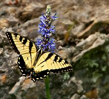 Tiger Swallowtail by Claudia Kuhn