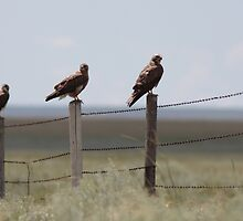 Swainson's Hawk Fledglings by Jillian Johnston