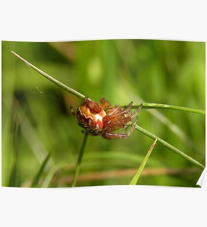 Garden Spider (8mm) Poster