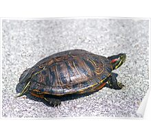 Box Turtle 9934 Poster