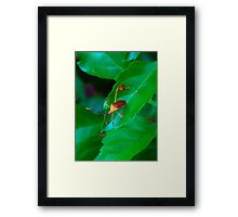 Leaffoot Stink Bug Framed Print