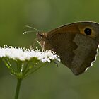 Meadow Brown by fotozo