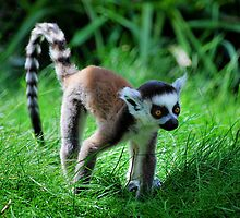 Ring Tailed Baby by Daysleeper40