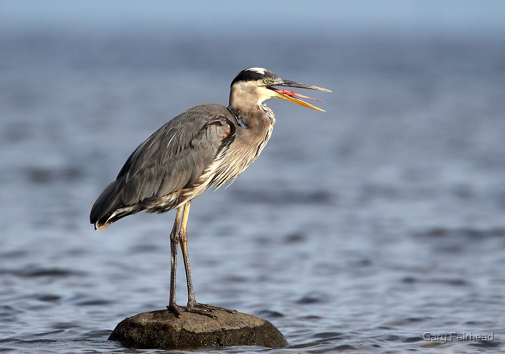 Gag Reflex / Great Blue Heron Juvenile by Gary Fairhead