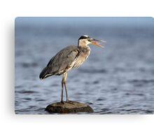 Gag Reflex / Great Blue Heron Juvenile Canvas Print