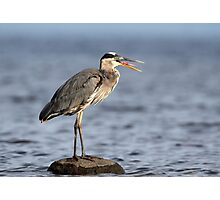 Gag Reflex / Great Blue Heron Juvenile Photographic Print