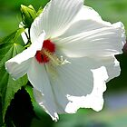 White Hibiscus by Brent McMurry