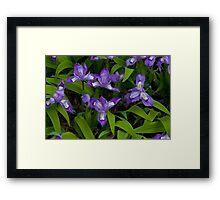 Dwarf Crested Iris Framed Print