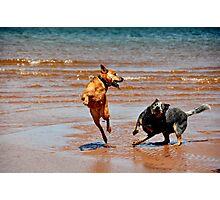 Atlantic Cowdogs Photographic Print