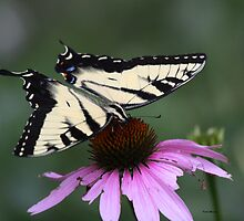 Tiger Swallowtail Butterfly on a cone flower by Dennis Cheeseman