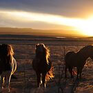 icelandic horses by gary roberts