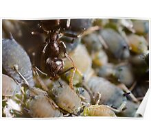 Ant Milking Aphids Poster