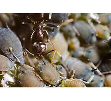 Ant Milking Aphids Photographic Print
