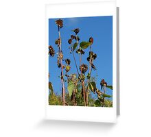 American Goldfinches On Dried Sunflowers Greeting Card