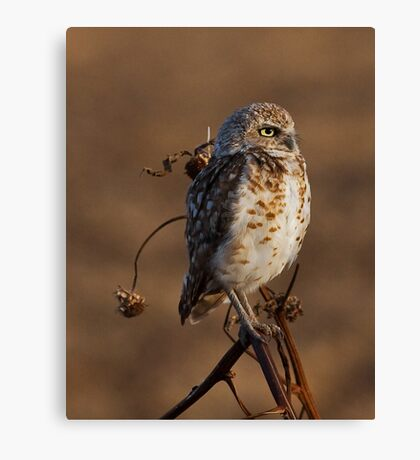 071809 Burrowing Owl Canvas Print