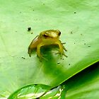 frog on lilypad by Rosalinde Jewell