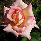 A Lovely Rose by Esperanza Gallego