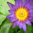 waterlily by Rosalinde Jewell