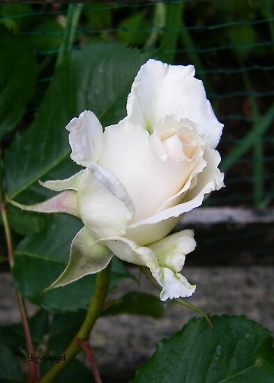 White Rose Bud by LoneAngel