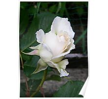 White Rose Bud Poster