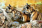Trio of Tiger Cubs, Kanchanaburi, Thailand  by Carole-Anne