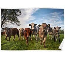 Cattle in Norfolk, UK Poster