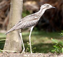 Bush Curlew by voir