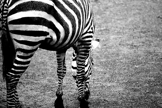 Zebra by Debbie Black