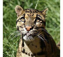 Wild Cat - Wildlife Heritage Foundation Photographic Print