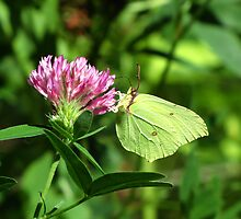 Common Brimstone Butterfly Feeding on Clover by linderel