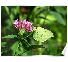 Common Brimstone Butterfly Feeding on Clover Poster