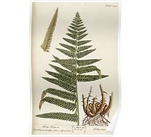 A curious herbal Elisabeth Blackwell John Norse Samuel Harding 1739 0184 The Male Fern Poster
