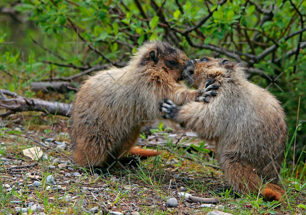 Marmots by Vickie Emms